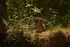 Hunters are hunters ,leopard in srilanka. endemic night`s working properly.the teeth are very sharp stock photos