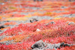 Endemic succulent sesuvian grass Royalty Free Stock Photography
