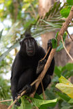 Endemic sulawesi monkey Celebes crested macaque Royalty Free Stock Images