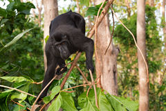 Endemic sulawesi monkey Celebes crested macaque Stock Photos