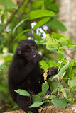 Endemic sulawesi monkey Celebes crested macaque Stock Image