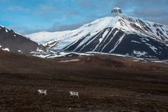 Endemic Svalbard reindeers running under Pyramida mountain in the Russian ghost town Pyramiden in Svalbard. Archipelago in the high Arctic Stock Photography