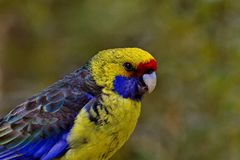 Endemic Tasmanian Rosella Parrot. Green Rosella Parrot with copy space in bokeh background. Location is Tasmania, Australia royalty free stock images