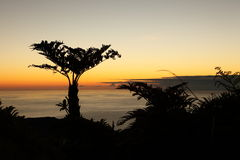 Endemic Tree ferns at dawn on St Helena Island Royalty Free Stock Photos
