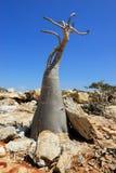 Endemic von Socotra-Insel Lizenzfreie Stockfotografie