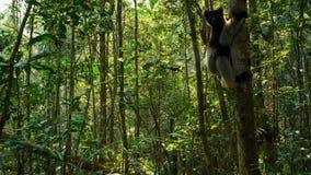 Endemische indrimaki in natuurlijke habitat riep ook babakoto royalty-vrije stock afbeelding