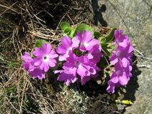 Endemische installatie (hirsuta Primula) Royalty-vrije Stock Fotografie