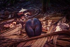 Endemische Seekokosnuß coco de Mer in Seychellen stockbild