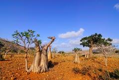 Endemischer Wald auf der Socotrainsel lizenzfreie stockfotografie