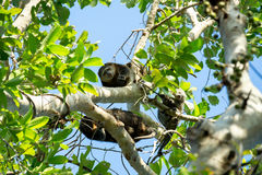 Endemisches Sulawesi Cuscus betreffen den Baum Stockfotografie