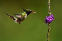 Endemisk Vit-krönad flört i Costa Rica Royaltyfri Foto