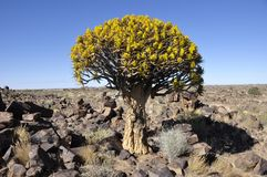 EndemiskDarrning-träd skog i Namibia royaltyfri bild