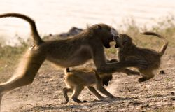 Ending a fight. Mother baboon ending a playfight Stock Image