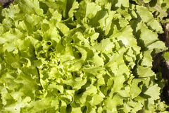 Endive lettuce growing in garden Royalty Free Stock Photo