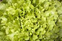Endive lettuce growing in garden Stock Photos