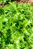 Endive. Salad type grown in the field Stock Photos