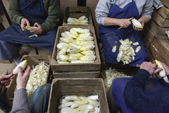 Endives being cleaned Stock Photography