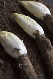 Endives /Chicory Grown in soil Royalty Free Stock Photography