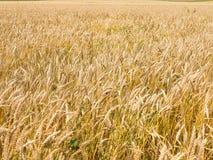 Endles黄色beautifull wheatfield在夏天 免版税库存图片