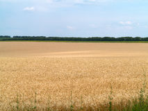 Endles yellow beautifull wheatfield in summer Stock Images