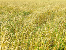 Endles yellow beautifull wheatfield in summer Stock Photos