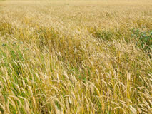 Endles yellow beautifull wheatfield in summer Stock Photo