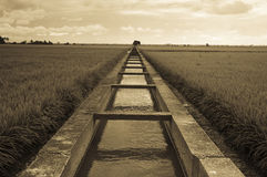 Endless. A photo of endless paddy field royalty free stock image