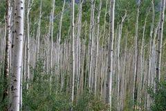 Endless Aspen Forest Stock Photos