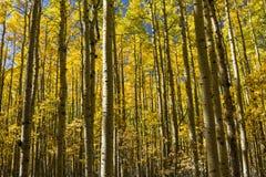 Endless Autumn Aspens Stock Photo