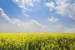 Endless Canola Field Royalty Free Stock Photography