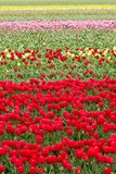 Endless colorful tulips - wallpaper Stock Photography