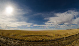 Endless field. An endless field of gold Royalty Free Stock Images