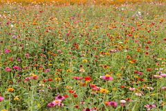 Colorful cosmos flower field Royalty Free Stock Images