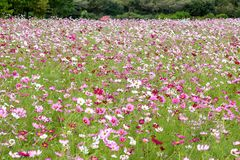 Colorful cosmos flower field Royalty Free Stock Photo