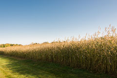 Endless Field. This is a corn field in Minnesota during autumn Stock Image