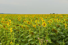 Endless field of flowering sunflowers, august evening. Natural summer background on different topics Royalty Free Stock Image