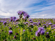 Endless field of purple flowers in an Autumn day. In Switzerland Royalty Free Stock Image