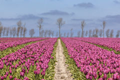 Endless field of purple tulips Stock Photo