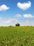 Endless fields with blooming buttercups Stock Photography