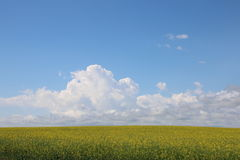 Endless fields of canola. Southern Alberta produces immense skies and fields of golden canola swaying in the gentle breezes under clear blue skies Stock Images
