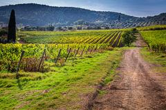 Endless fields of vines in Tuscany Royalty Free Stock Image