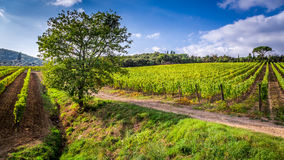 Endless fields of vines in Tuscany Royalty Free Stock Photo