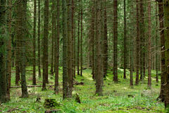Endless fir forest Stock Photography