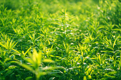 Endless green weeds Royalty Free Stock Photography