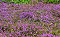 Endless hills with blooming heather at sunrise Stock Images