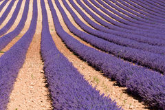 Endless Lavender Stock Photography