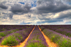 Endless Lavender Fields Stock Photos
