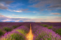 Endless Lavender fields Royalty Free Stock Photos