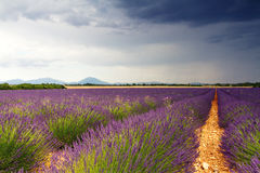 Endless Lavender Fields Stock Photo