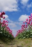 Endless Pink Tulips Rows, Blue Sky and Clouds. Stock Photo